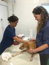 Vet Tech Shawnti cleans a new patient