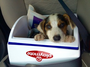 A small ice chest served as a makeshift carrier on the way to the vet clinic
